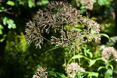 Green-stemmed Joe-Pye Weed (Eutrochium purpureum)