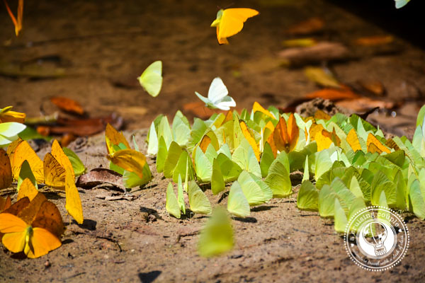 Butterflies Brazilian Amazon