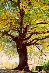 Hahndorf City Tree