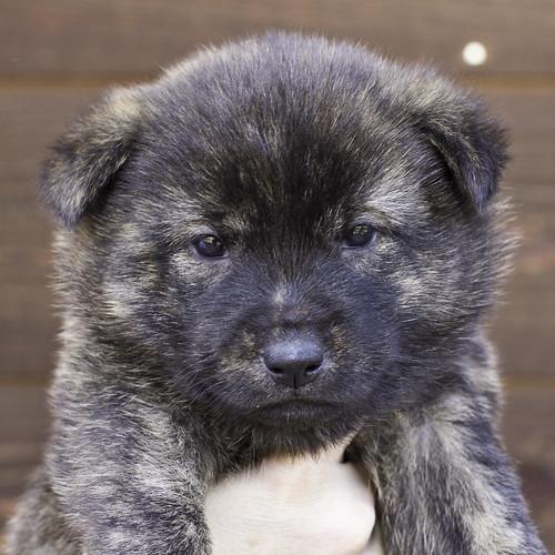 Nori-Litter2-30Days-Puppy1(male)a