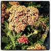 Happy Fall Equinox! The red #yarrow is fading but still beautiful.
