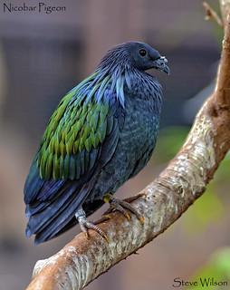 Nicobar Pigeon Portrait