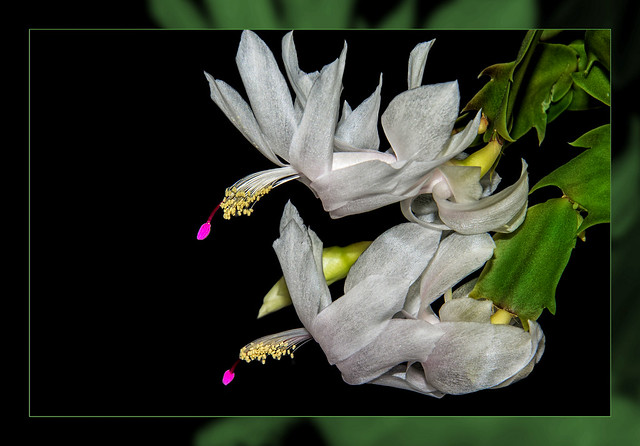 Christmas cactus in white double framed