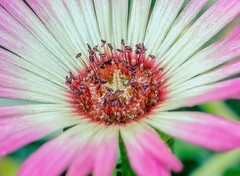 annual plant, flower, daisy, macro photography, wildflower, flora, close-up, pink, petal,