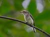 Sri Lanka woodshrike