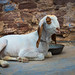 Seated Goat, Jodhpur