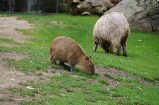057 Capibara