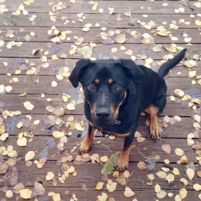 Teddy does fall. #teddygram #instateddy #puppy #rottie #dog #fall #autumn #leaves