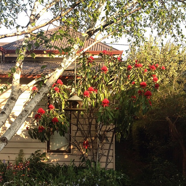I'm a bit obsessed with this waratah tree in my backyard. So beautiful.