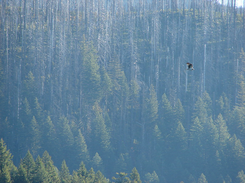Osprey over Marion Lake