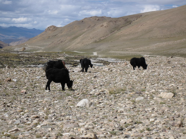 Yaks on the road back from Chomolungma, Mt Everest