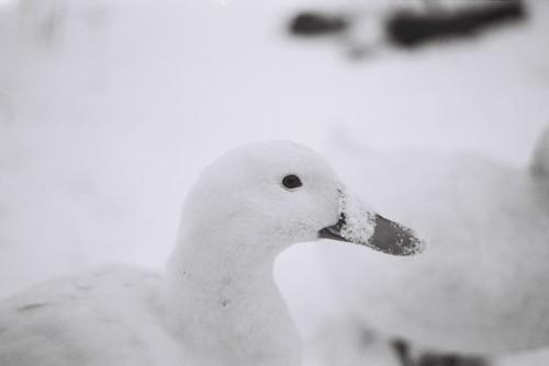 Snowy Duck