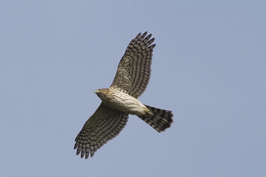 Cooper's Hawk on the hunt!!!