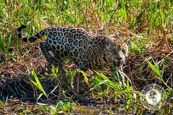 Pantanal Jaguar Encounter