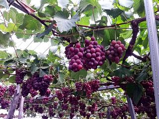 葡萄紅伊豆