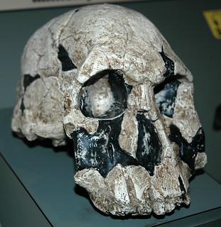 Homo rudolfensis fossil hominid (Koobi Fora Formation, Upper Pliocene, 1.88 Ma; Koobi Fora, east of Lake Turkana, northern Kenya, eastern Africa) 1