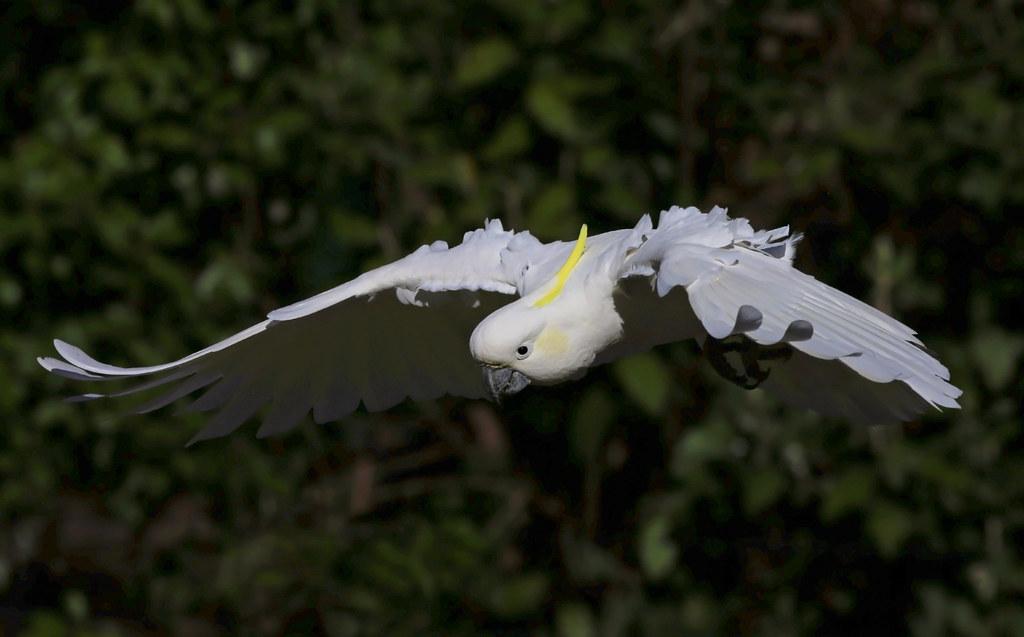 Sulphur-crested Cockatoo : Back flaps on full ! ! !