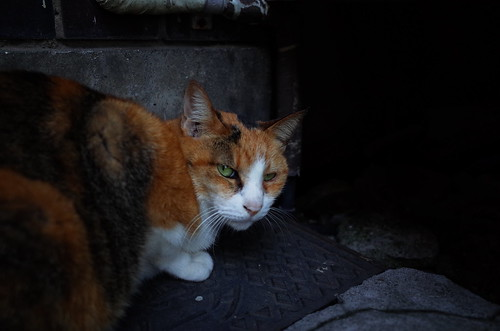 Cat in Akihabara