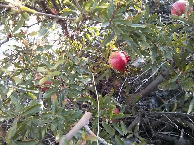granada - fruto del otoño