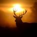 Red Deer stag by Benjamin Joseph Andrew