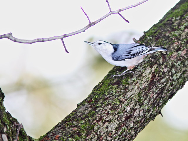 White-breasted Nuthatch 20141016