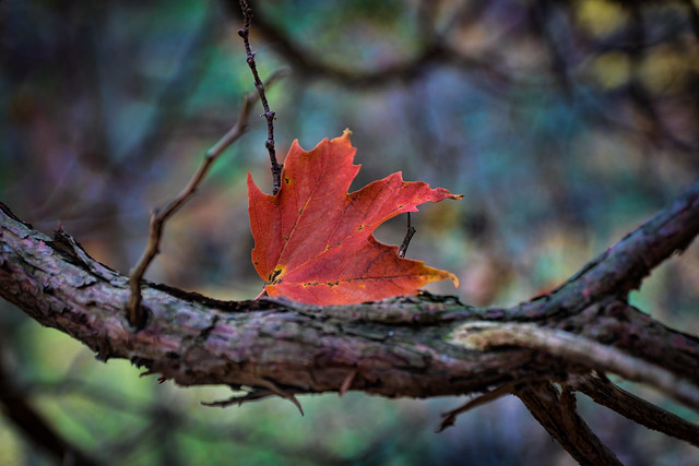 Red, Fall, Autumn, Maple Leaf, Branch, Fall Foliage