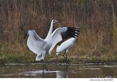 Whooping Cranes (Grus americana)