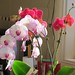Two Phalaenopsis