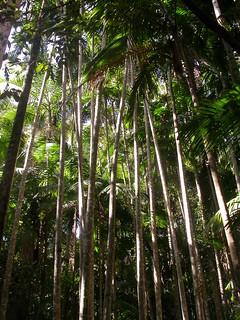 DSCN3226 bangalow palms (Archontophoenix cunninghamiana), Mapleton Falls National Park, Queensland
