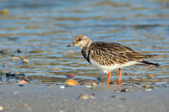 animal, charadriiformes, fauna, calidrid, sandpiper, beak, bird, wildlife,