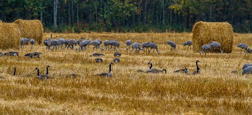 ontario birds canon sudbury canadageese sandhillcrane
