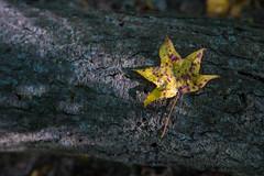yellow leaf on pine bark