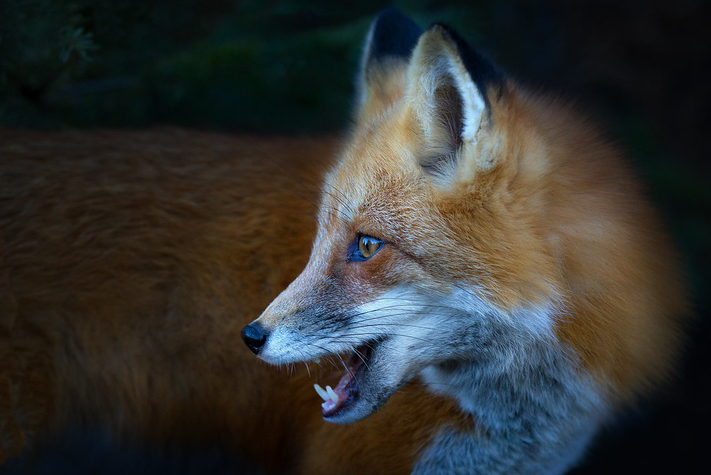 Red Fox, Algonquin Park, Canada