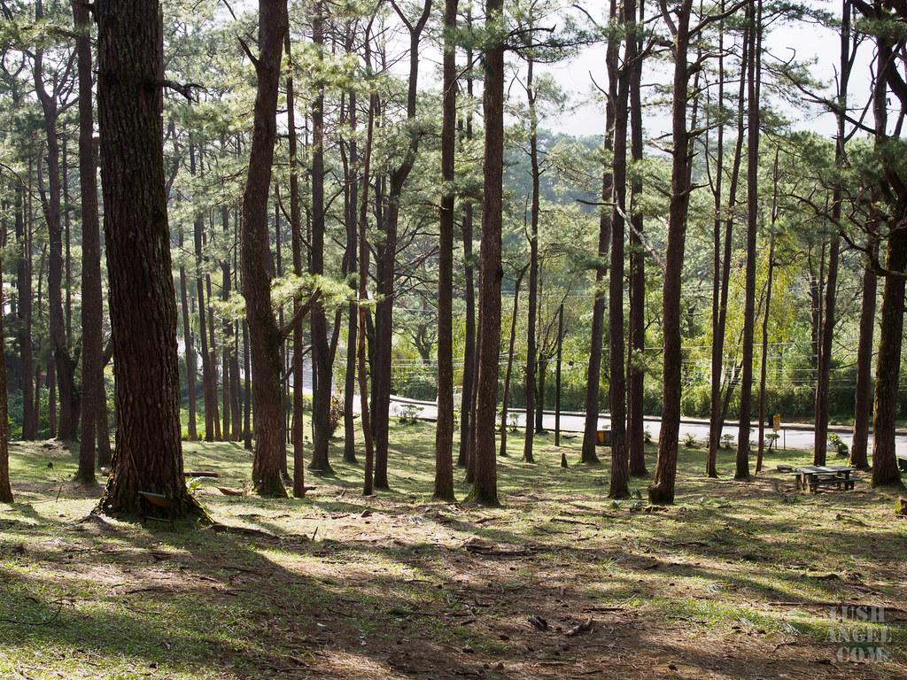 baguio-pine-trees