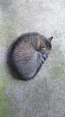 croissant shape napping cat