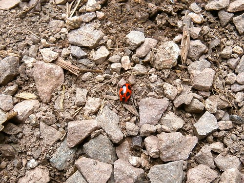 False ladybird, Endomychus coccineus, Herefordshire 09-14