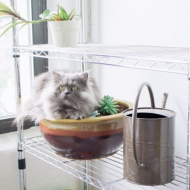 Goblin shouldn't be in the plants. Goblin doesn't care.  Goblin's goal everyday is to get dirty. #goblin #cats #cat #persiancat #Persian #fluffy #fluffball #kitten #furry #catsofinstagram #greycat  #caturday #plants #garden