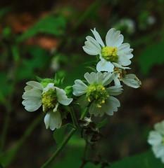 White Wildflower along Yellow rock Trail - Devils Den State Park, Northwest Arkansas