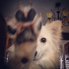 High five! #eskimo #americaneskimo #esquimalamericano #highfive #high5 #dogs #puppy #cuttest #handsomest #pawn #dogpawn