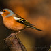 Chaffinch by tamhughes806