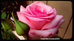 A Pink Wonder