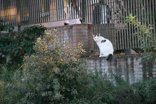 gatto romano
