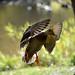 Canard colvert ♀ / Mallard