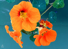Late blooming nasturtiums