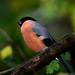 Bullfinch by Dennis Hst