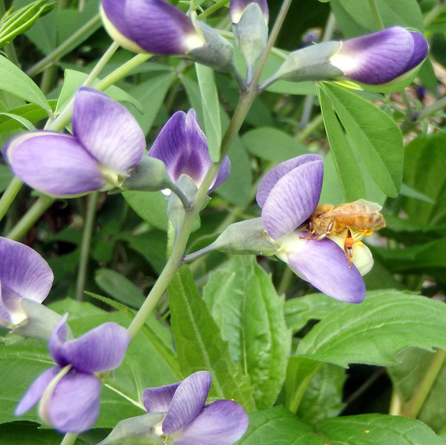 light orange honeybee with its hind legs standing on baptisia and its head in the blossom