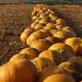 Pumpkins by lady_sunshine_photos