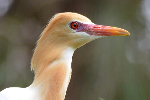 Cattle Egret profile_9021E