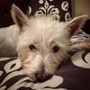 2016-10-25 Tinker #westiesofinstagram #dogsofinstagram