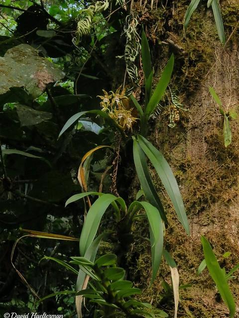 Odontoglossum constrictum floreciendo en, Canon POWERSHOT SX40 HS